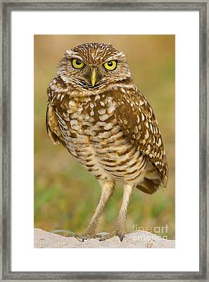 Burrowing Owl Framed Print by Jerry Fornarotto