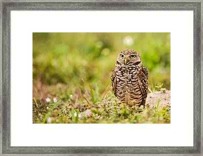 Burrowing Owl Looking After Its Home Framed Print by Andres Leon