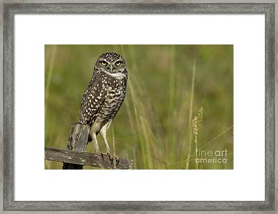Burrowing Owl Stare Framed Print