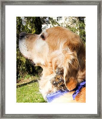 Burs In Dogs Fur Framed Print