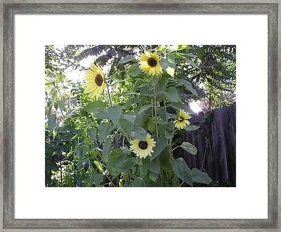 Burst Of Sunflower  Framed Print by Mike Friedman
