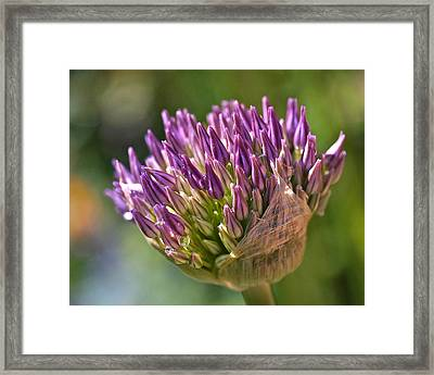 Bursting Allium Purple Sensation Framed Print