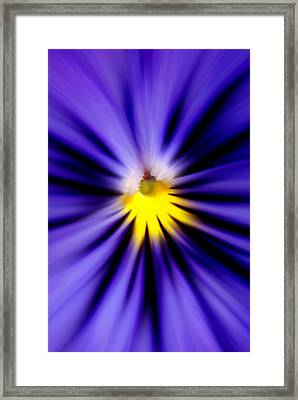 Bursting With Blue Pansy Framed Print by Kelly Nowak