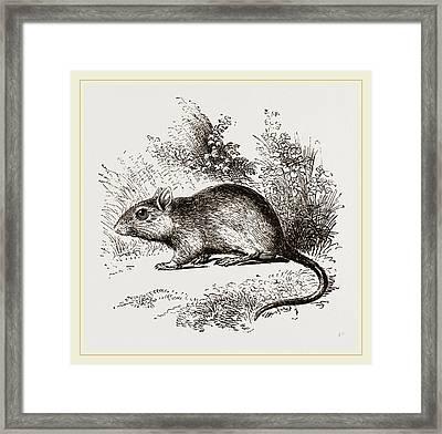 Burtons Gerbille Framed Print