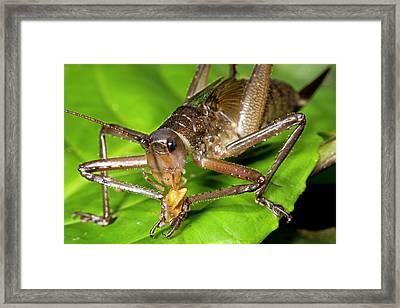 Bush Cricket Feeding Framed Print