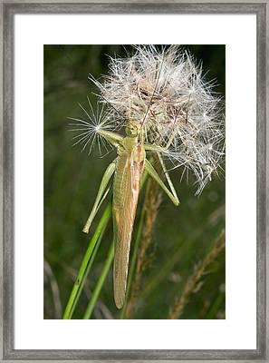 Bush-cricket On Dandelion Clock Framed Print