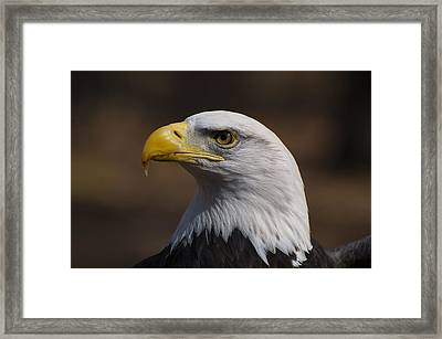 bust image of a Bald Eagle Framed Print by Chris Flees