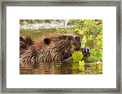 Busy As A Beaver Framed Print