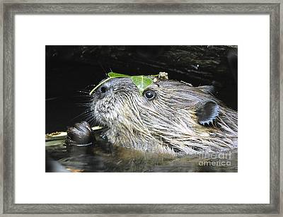 Busy Beaver Framed Print