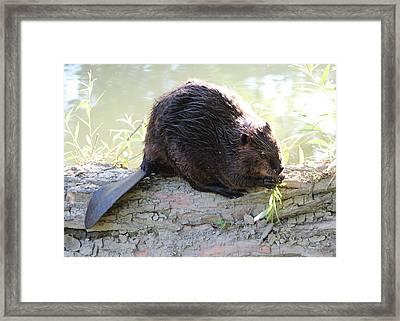 Busy Beaver Framed Print by Theresa Meegan
