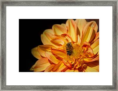 Busy Bee Dahlia Framed Print