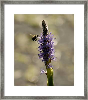 Busy Bee Framed Print by Donna Stiffler