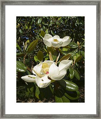 Busy Bee In A Magnolia Blossom 2 Framed Print by MM Anderson