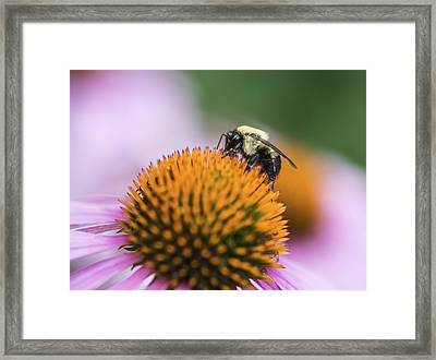 Busy Bee On Cone Flower Framed Print by Vishwanath Bhat