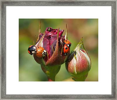 Busy Ladybugs Framed Print by Rona Black