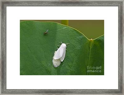 Busy Moth Pesty Fly Framed Print by Kathy Gibbons