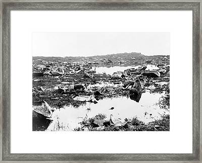 Butchered Galapagos Tortoises Framed Print by Library Of Congress
