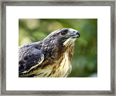 Buteo Jamaicensis Framed Print by Christina Rollo