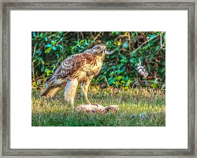 Framed Print featuring the photograph Buteo Jamaicensis by Rob Sellers