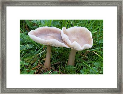 Butter Cap Fungus Framed Print by Nigel Downer