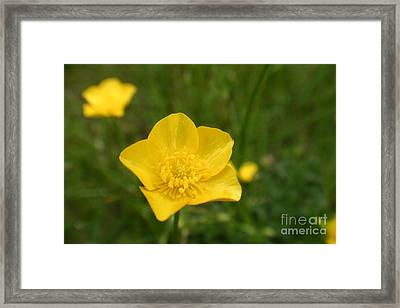 Buttercup Collection Photo 2 Framed Print