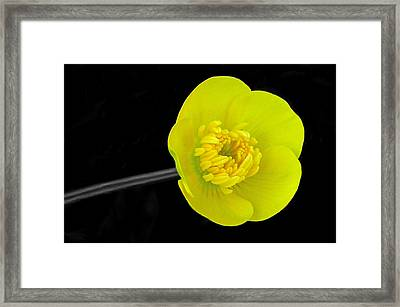 Buttercup Framed Print by Lisa Phillips
