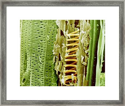 Buttercup Stem, Sem Framed Print by Science Photo Library