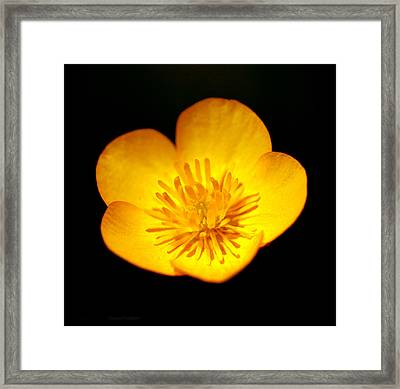 Buttercup Framed Print by Steven Poulton
