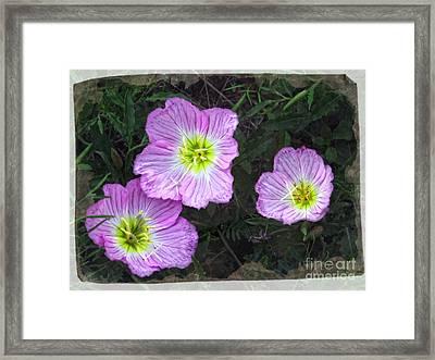 Buttercup Wildflowers - Pink Evening Primrose Framed Print by Ella Kaye Dickey