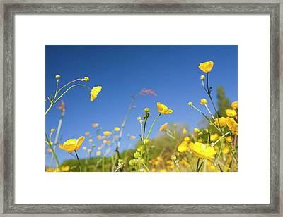 Buttercups Flowering Framed Print by Ashley Cooper