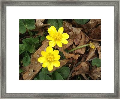 Buttercups Framed Print by Julia Gatti