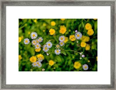 Buttered Fleabane Framed Print