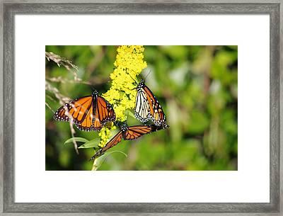 Framed Print featuring the photograph Butterflies Abound by Greg Graham
