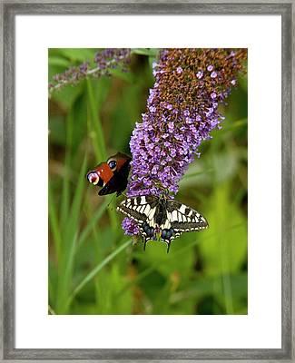 Butterflies Feeding On Buddleia Flowers Framed Print by Bob Gibbons