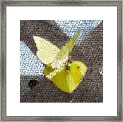 Sulfur Butterflies Mating Framed Print