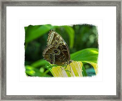 Butterflies Framed Print by Joe Oliver