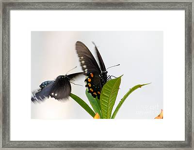 Framed Print featuring the photograph Butterflies Playing by Jay Nodianos
