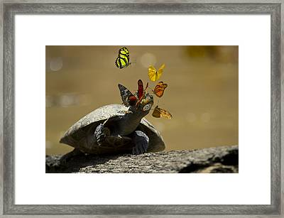 Butterflies Sipping Salt From Turtles Framed Print by Pete  Oxford