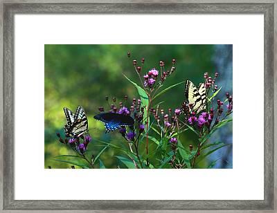 Butterflies Three Framed Print