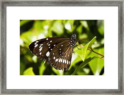 Butterfly 002 Framed Print by Kevin Chippindall