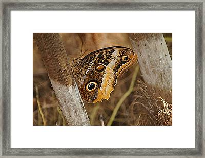Butterfly 1 Framed Print by Kathy Churchman