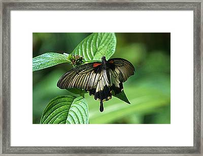 Framed Print featuring the photograph Butterfly 2 by Kathy Churchman