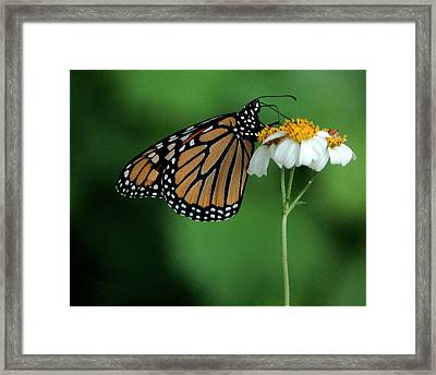 Framed Print featuring the photograph Butterfly 3 by Leticia Latocki