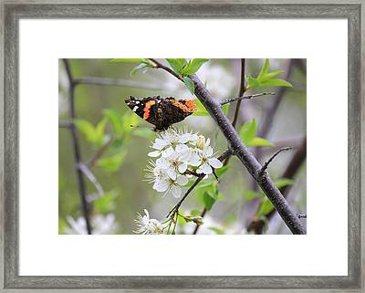 Framed Print featuring the photograph Butterfly And Apple Blossoms by Penny Meyers