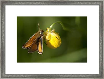 Butterfly And Buttercup  Framed Print