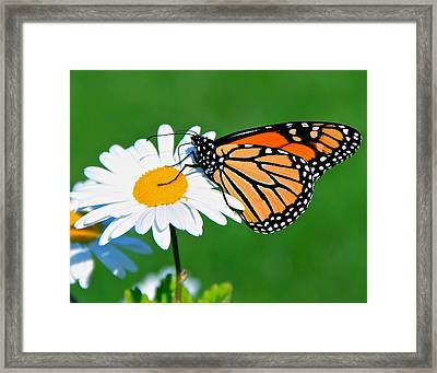 Butterfly And Daisey Framed Print