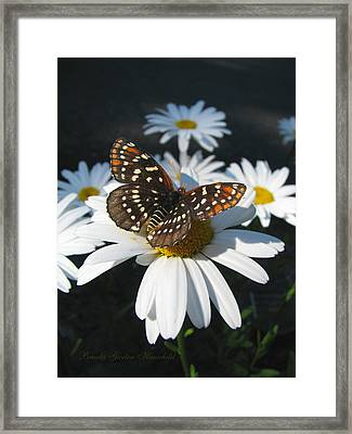 Butterfly And Shasta Daisy - Nature Photography Framed Print