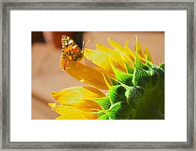 Butterfly And Sunflower Meeting Framed Print