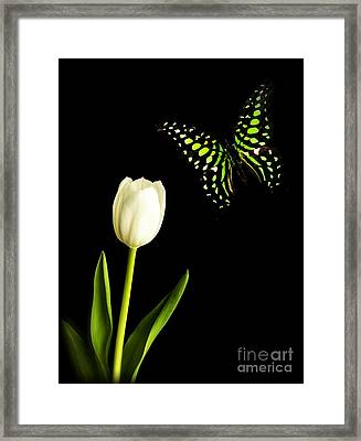 Butterfly And Tulip Framed Print by Edward Fielding