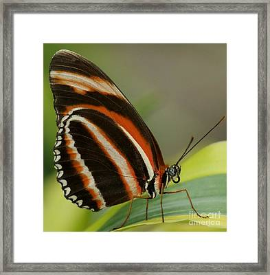 Butterfly Autumn With Green Head Framed Print by Gail Matthews
